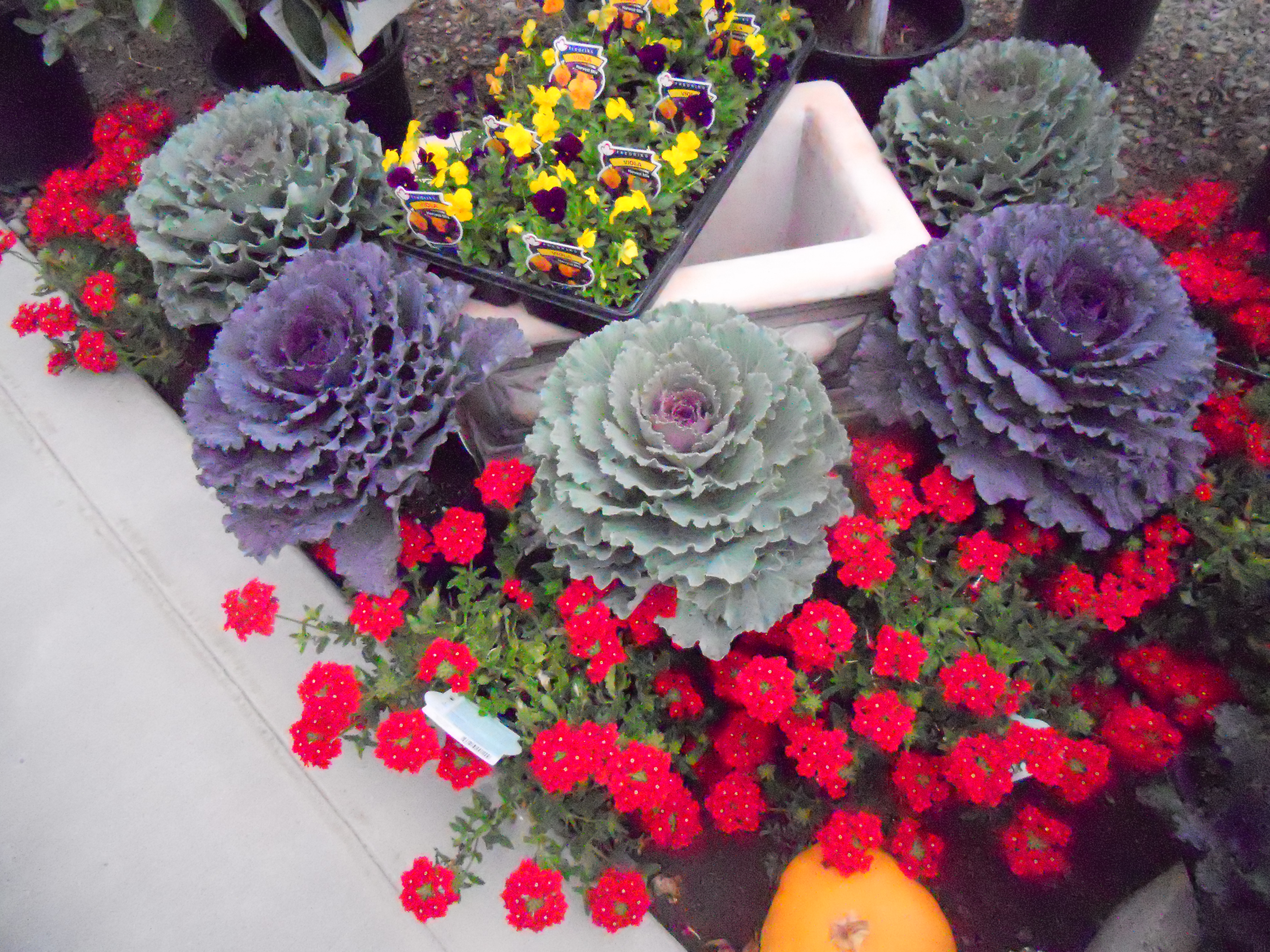 Fall produce planting mercedgardens ornamental cabbage fall flowers dhlflorist Images